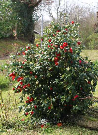 Camellia !!! - Page 2 Img_3227