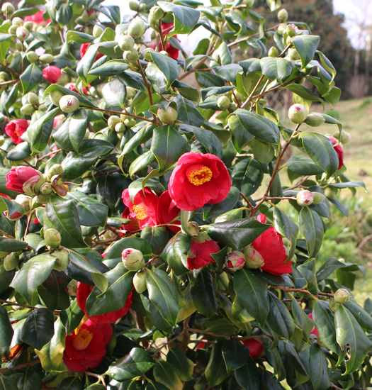 Camellia !!! - Page 2 Img_3228
