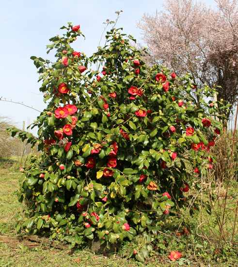 Camellia !!! - Page 2 Img_3229