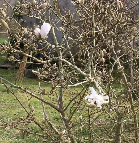Magnolia stellata !!! Img_3232