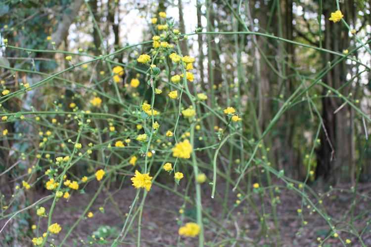 Kerria japonica !!! Img_3234