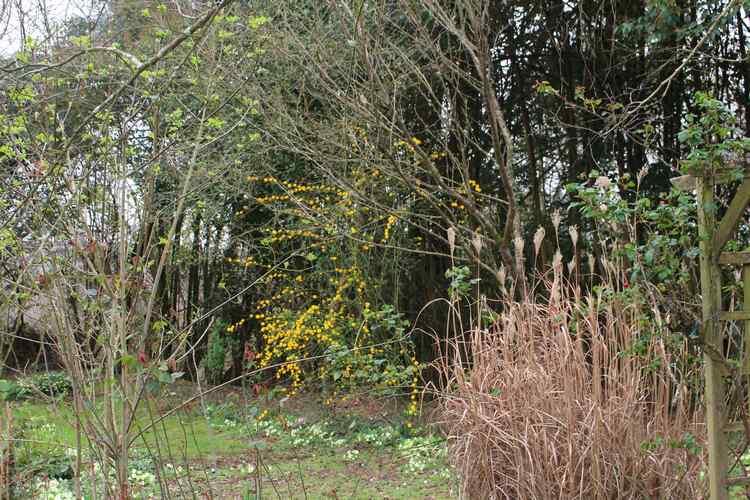 Kerria japonica !!! Img_3312