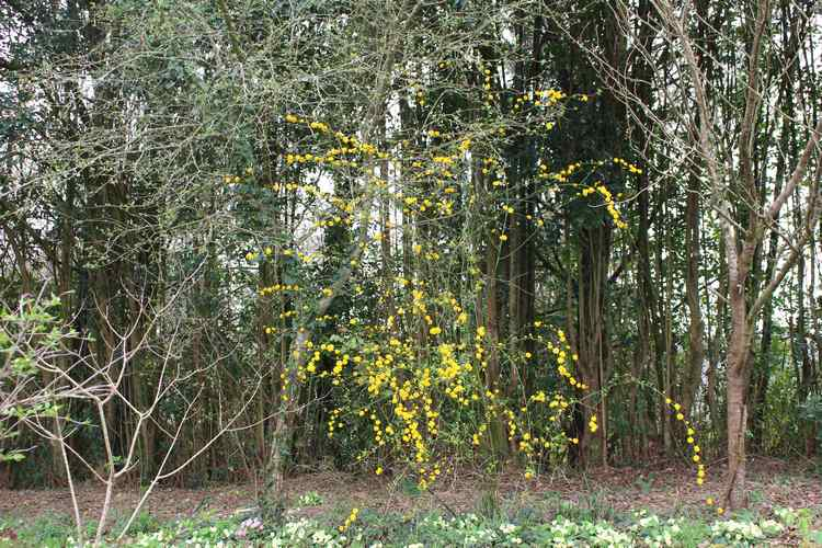 Kerria japonica !!! Img_3313