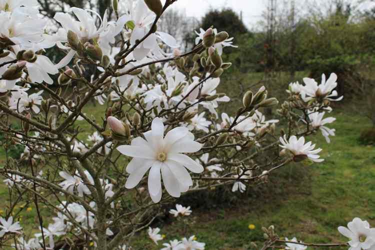 Magnolia stellata !!! - Page 2 Img_3314