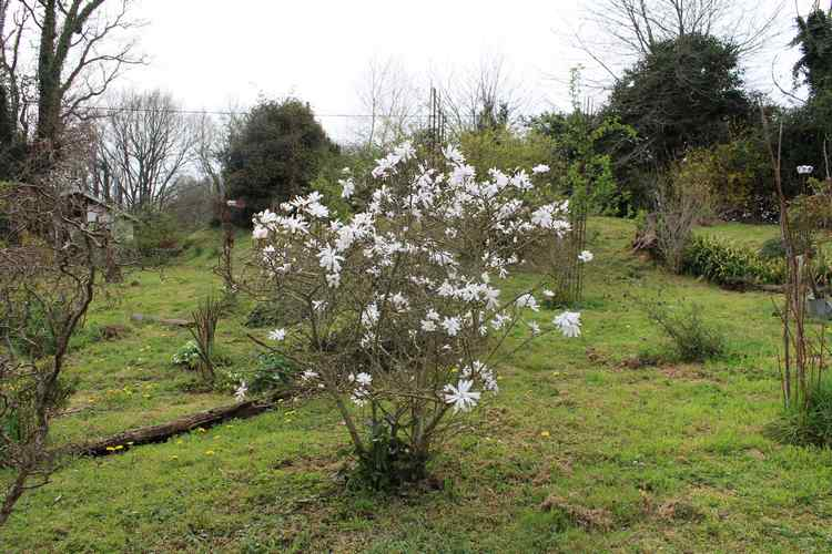 Magnolia stellata !!! - Page 2 Img_3315