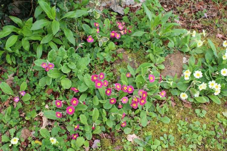 Primula..........aimez-vous les coucous ??? - Page 4 Img_3316