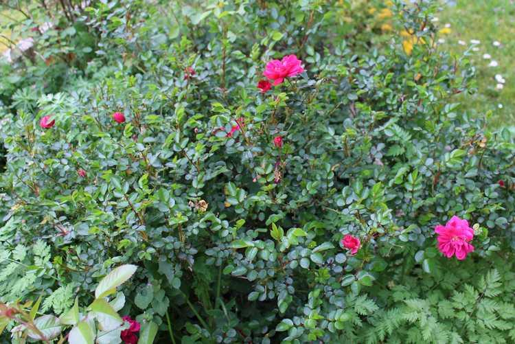 Rosa 'Purple Rain' !!! Img_3425