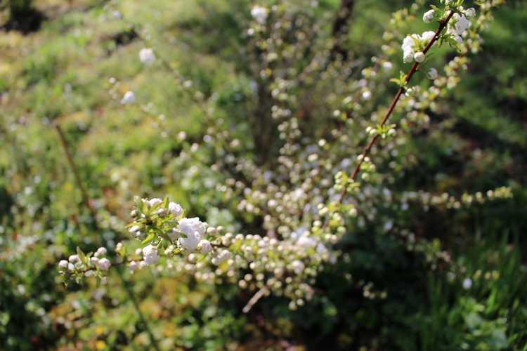 Prunus glandulosa 'alba plena' !!! - Page 2 Img_3427
