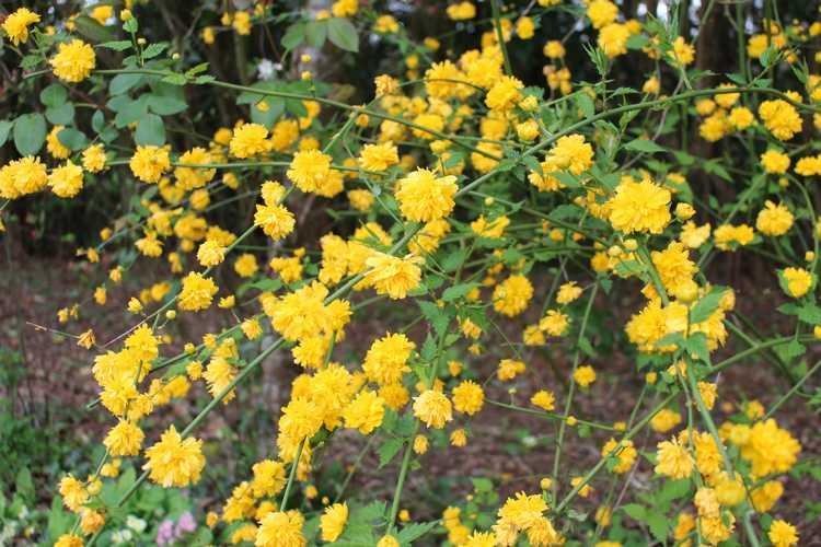 Kerria japonica !!! Img_3438
