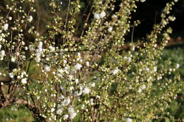 Prunus glandulosa 'alba plena' !!! - Page 3 Img_3519