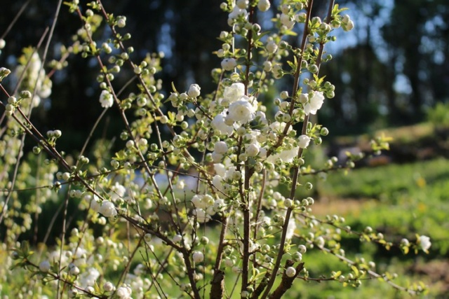 Prunus glandulosa 'alba plena' !!! - Page 3 Img_3520