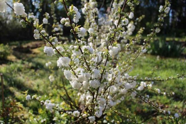 Prunus glandulosa 'alba plena' !!! - Page 3 Img_3538
