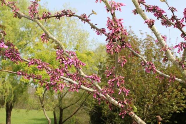 arbre de Judée........... Cercis siliquastrum - Page 3 Img_3628