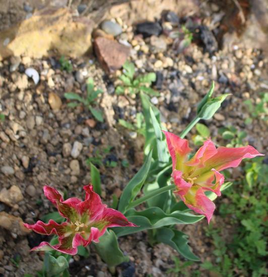 Tulipes. - Page 3 Img_3712