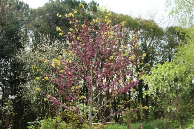 arbre de Judée........... Cercis siliquastrum - Page 4 Img_3720