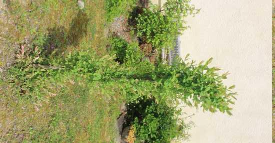 Salix integra 'Hakuro-Nishiki' - Page 3 Img_3728