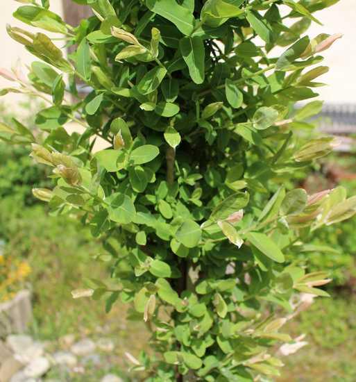 Salix integra 'Hakuro-Nishiki' - Page 3 Img_3729