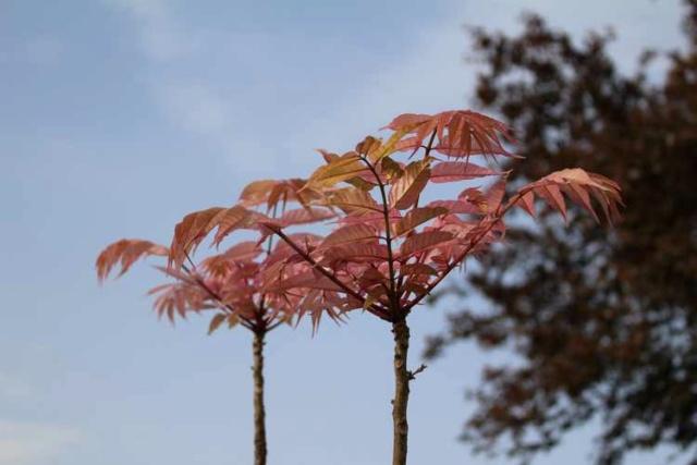 Hum..........je cherche.........Toona sinensis 'Flamingo'!! Img_3732