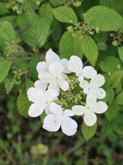 Viburnum plicatum 'Watanabe' !!! - Page 6 Img_3733