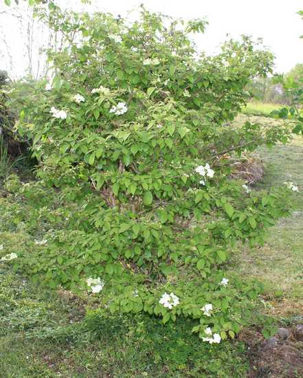 Viburnum plicatum 'Watanabe' !!! - Page 6 Img_3734