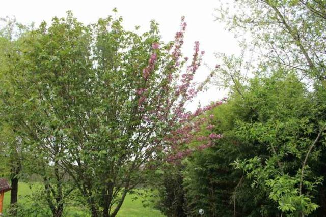 Prunus serrulata 'Royal Burgundy' Img_3744