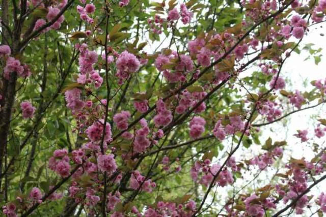 Prunus serrulata 'Royal Burgundy' Img_3745