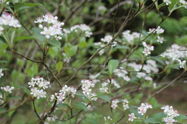 Aronia arbutifolia 'Brilliant' Img_3748
