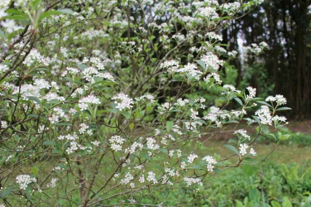 Aronia arbutifolia 'Brilliant' Img_3749