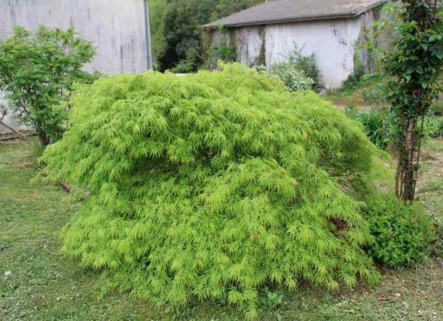 Acer palmatum 'Dissectum' !!! - Page 4 Img_3813