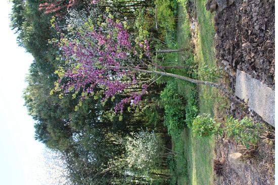 arbre de Judée........... Cercis siliquastrum - Page 4 Img_3831