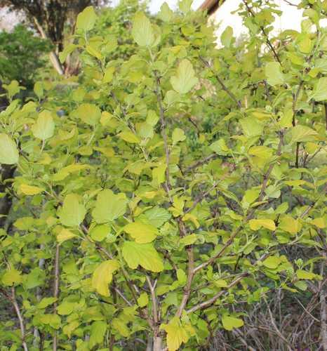 Physocarpus Dart's Gold !!! - Page 2 Img_3836