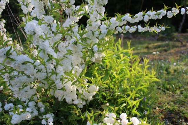 Prunus glandulosa 'alba plena' !!! - Page 3 Img_3838
