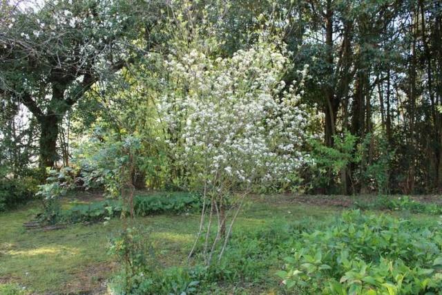 Aronia arbutifolia 'Brilliant' Img_3840
