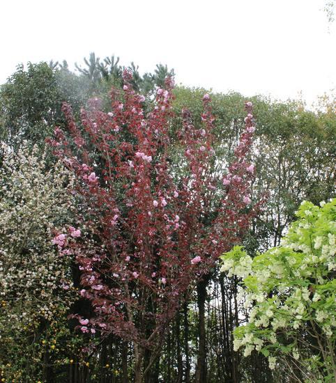 Prunus serrulata 'Kanzan' !!! Img_3912