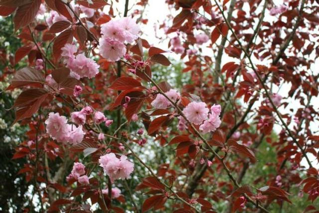 Prunus serrulata 'Kanzan' !!! Img_3919