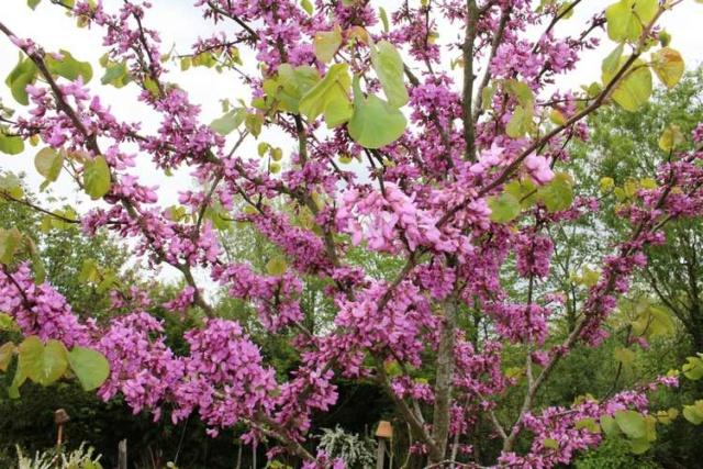 arbre de Judée........... Cercis siliquastrum - Page 4 Img_3920