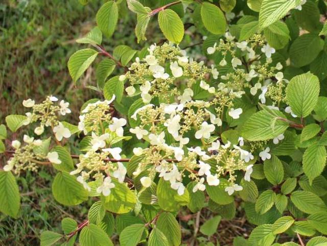 Viburnum plicatum 'Lanarth' !!! Img_4026
