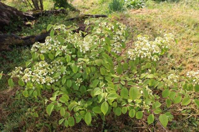 Viburnum plicatum 'Lanarth' !!! Img_4027