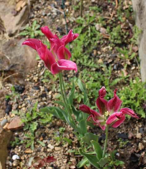 Tulipes. - Page 4 Img_4114