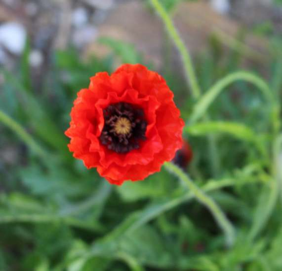 Papaver...........gentil coquelicot  - Page 2 Img_4133
