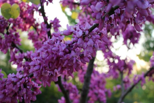 arbre de Judée........... Cercis siliquastrum - Page 4 Img_4138