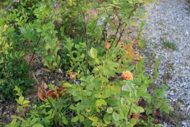 Rosa 'Amber Nectar'   Img_4140