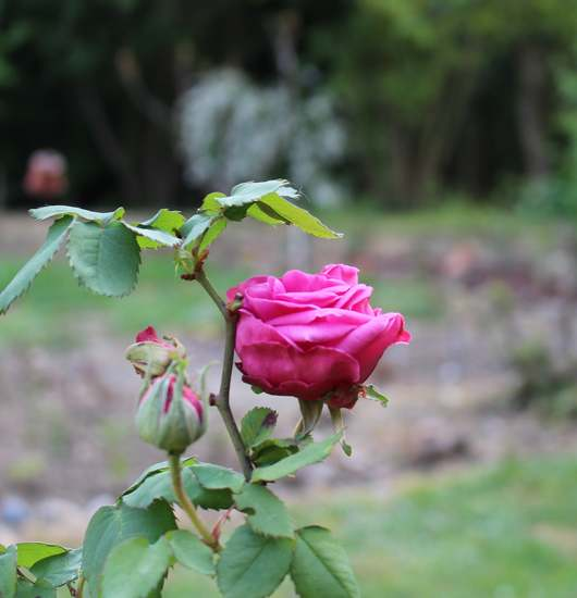 Rosa 'Madame Isaac Péreire' !!! - Page 2 Img_4141