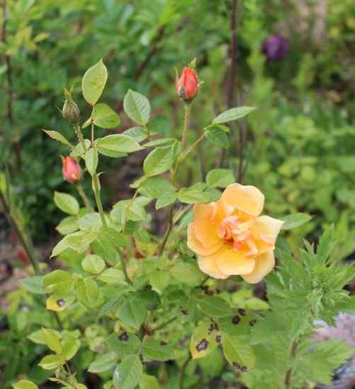 Rosa 'Amber Nectar'   Img_4234
