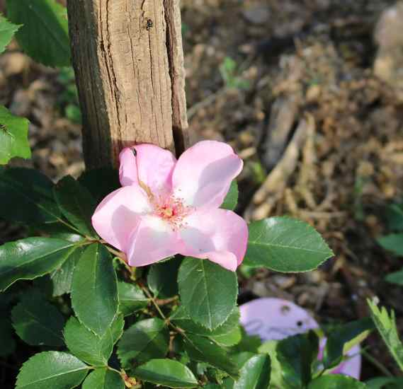Rosa 'Evy'   Img_4338