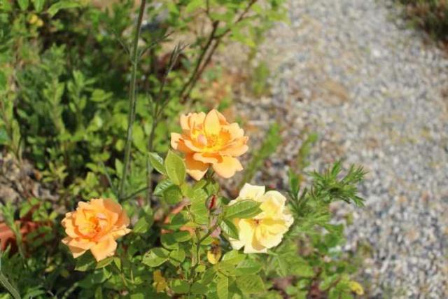 Rosa 'Amber Nectar'   Img_4410