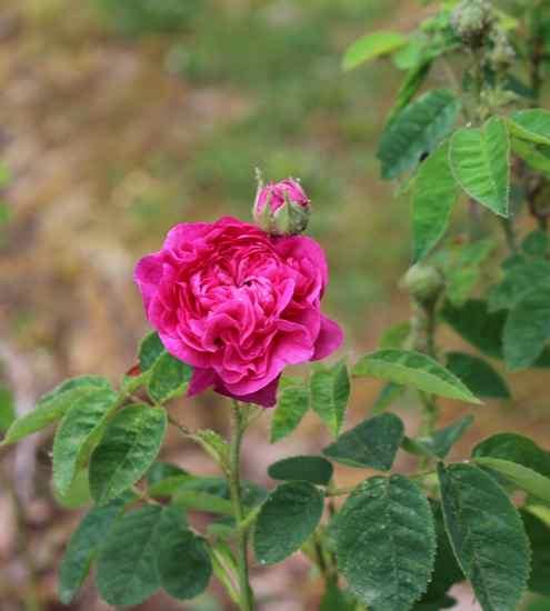 Rosa 'Président de Sèze' !!! Img_4416