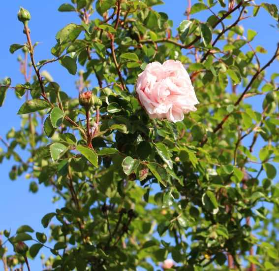 Rosa 'Probuzeni' !!! Img_4622