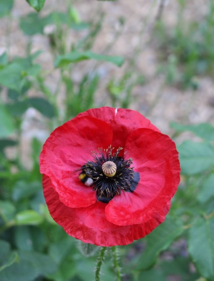 Papaver...........gentil coquelicot  - Page 3 Img_4922