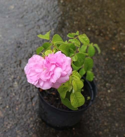 Rosa 'Duchesse du Berry' ! Img_5129